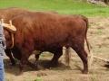 slider-oxen