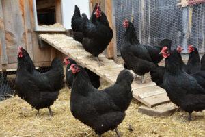 chickens lo res